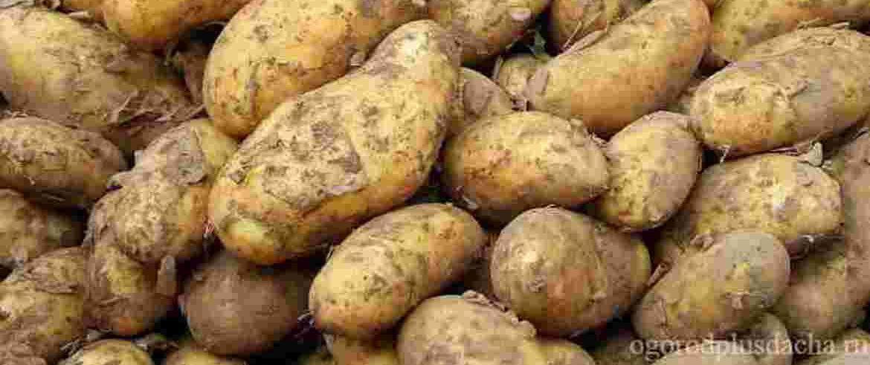 """alt=""""Хороший урожай картошки"""""""