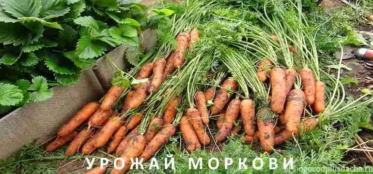 "alt=""Выращивание моркови"""