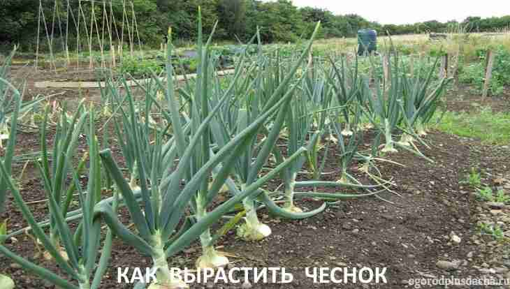 """alt=""""Выращивание чеснока в открытом грунте"""""""
