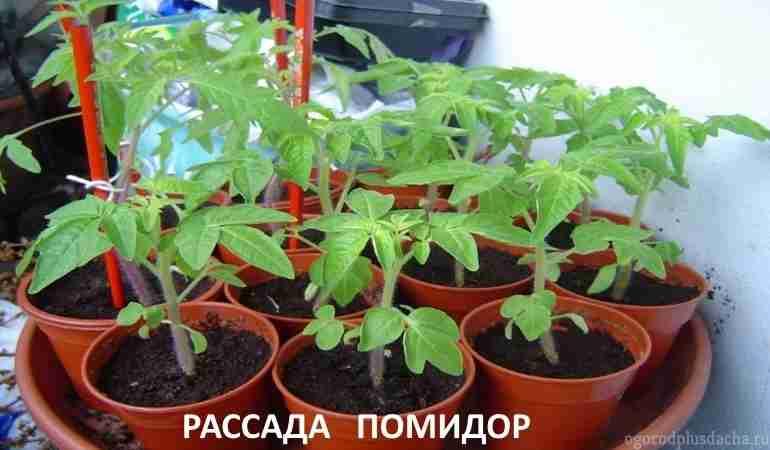 """alt=""""Как вырастить рассаду помидор"""""""