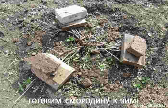 """alt=""""Подготовка чёрной смородины к зиме"""""""