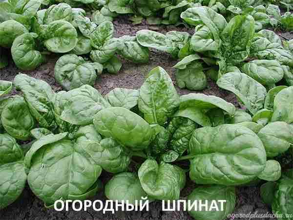 """alt=""""Виды шпината"""""""