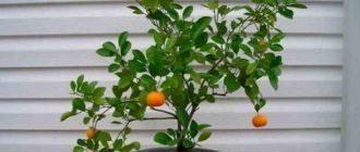 """alt=""""Выращивание мандарина из косточки в домашних условиях"""""""