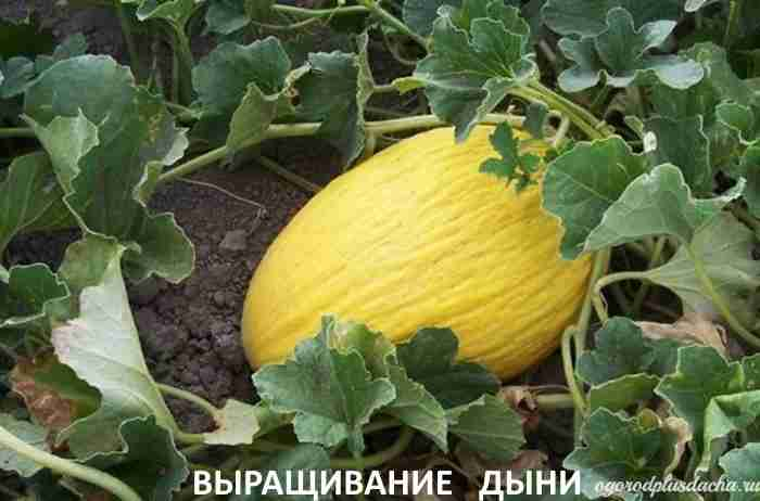 "alt=""Посадка дыни"""