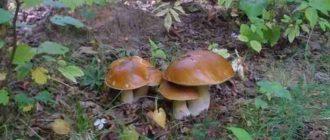 """alt=""""Как вырастить белые грибы на даче"""""""