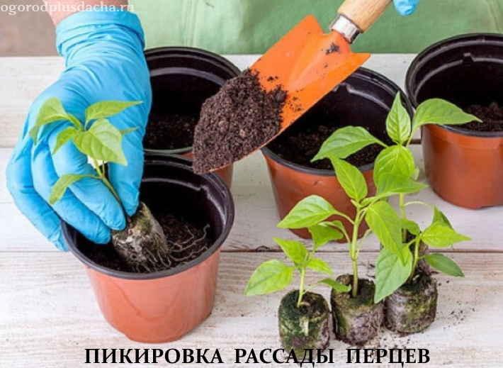 Пикировка сеянцев болгарского перца