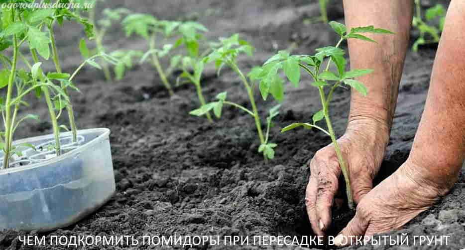 Что положить в лунку при посадке томатной рассады
